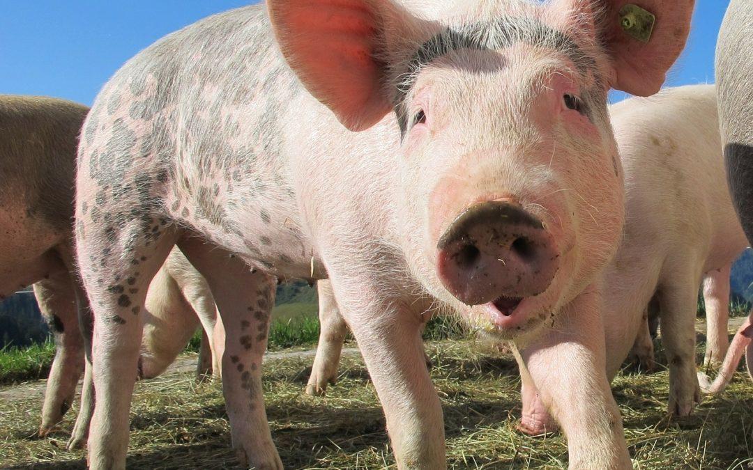 Czy ktoś nazwał cię dzisiaj świnią?